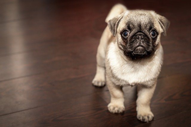 The Suitable Place to Buy an English Bulldog Puppy For Your Home
