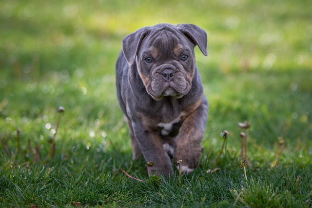 Its Best to Buy an English Bulldog Puppy From A Shelter